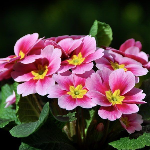 Примула розовая (Primula rosea)