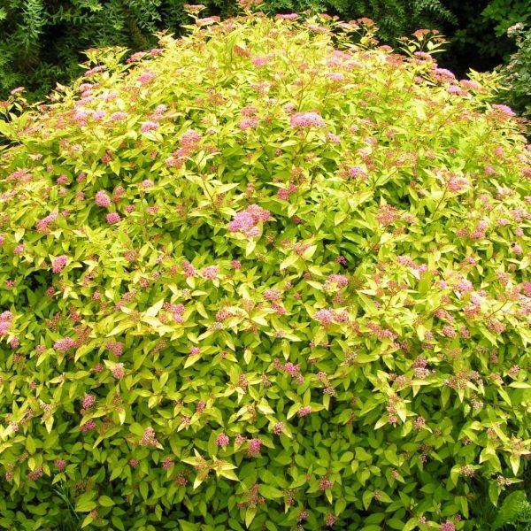 Спирея японская «Golden Princess» (Spiraea japonica «Golden Princess»)