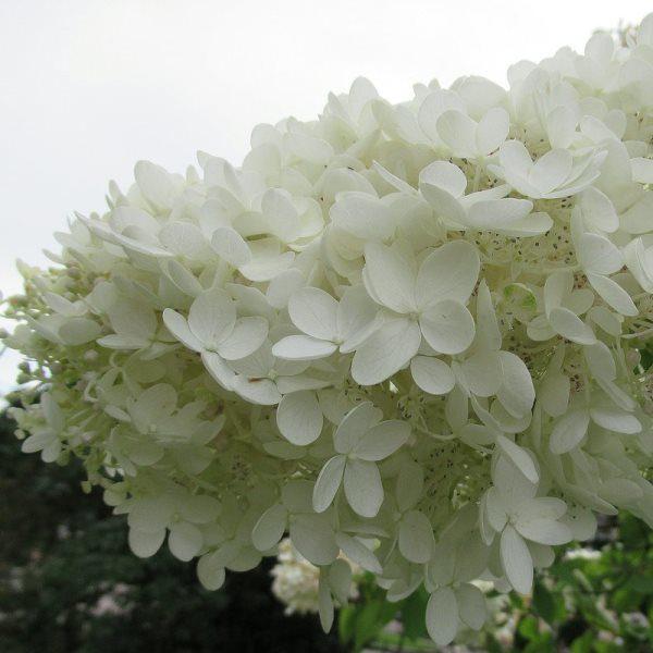Гортензия метельчатая «Grandiflora» (Hydrangea paniculata «Grandiflora»)