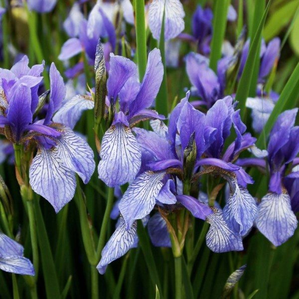 Ирис сибирский (Iris sibirica)
