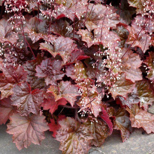 Гейхера мелкоцветковой (Heuchera micrantha)